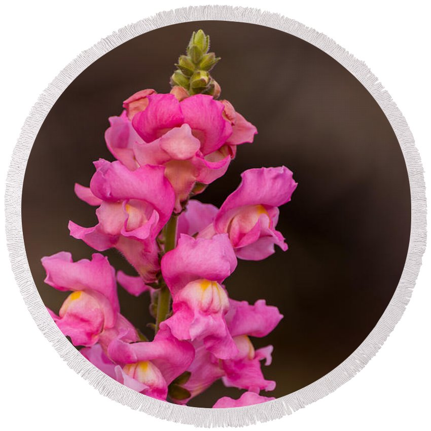 Pink Snapdragon Round Beach Towel featuring the photograph Pink Snapdragon by Zina Stromberg