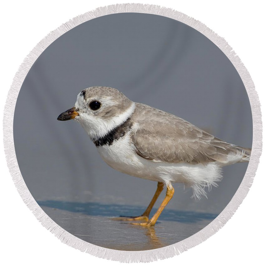 Animal Round Beach Towel featuring the photograph Piping Plover Charadrius Melodus by Anthony Mercieca