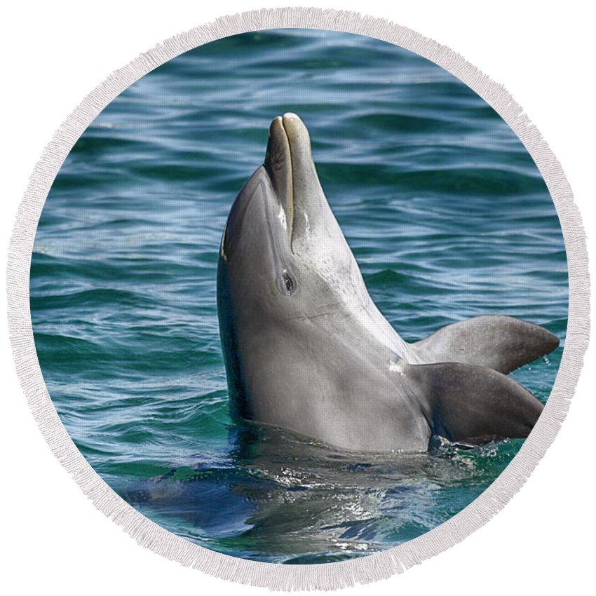 Dolphin Round Beach Towel featuring the photograph Playful V10 by Douglas Barnard