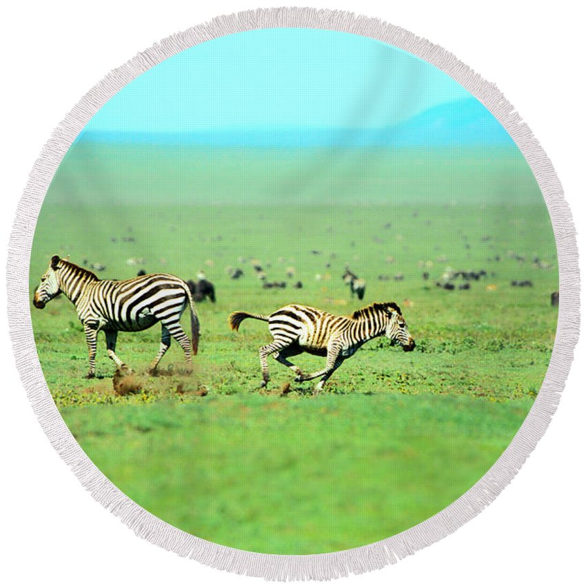 Africa Round Beach Towel featuring the photograph Playfull Zebras by Sebastian Musial