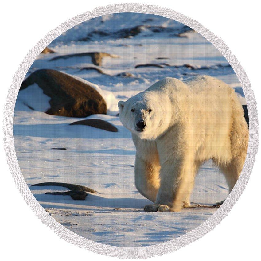 Polar Bear Round Beach Towel featuring the photograph Polar Bear On The Tundra by Carole-Anne Fooks