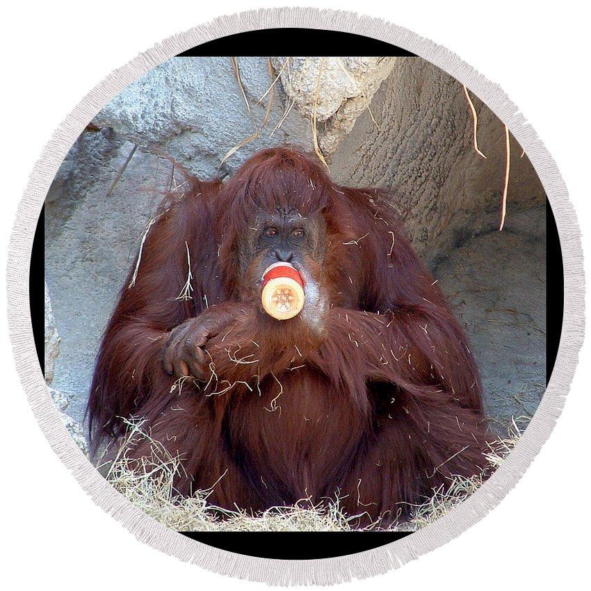 Animals Round Beach Towel featuring the photograph Portrait Of An Orangutan by Debbie Nobile