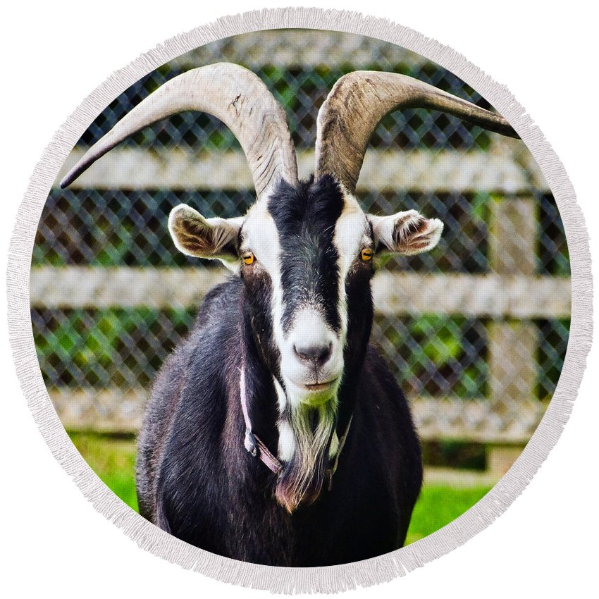 Goat Round Beach Towel featuring the photograph Posing For The Camera by Susie Peek