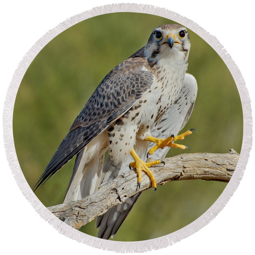 Prairie Falcon Round Beach Towel featuring the photograph Prairie Falcon by Anthony Mercieca