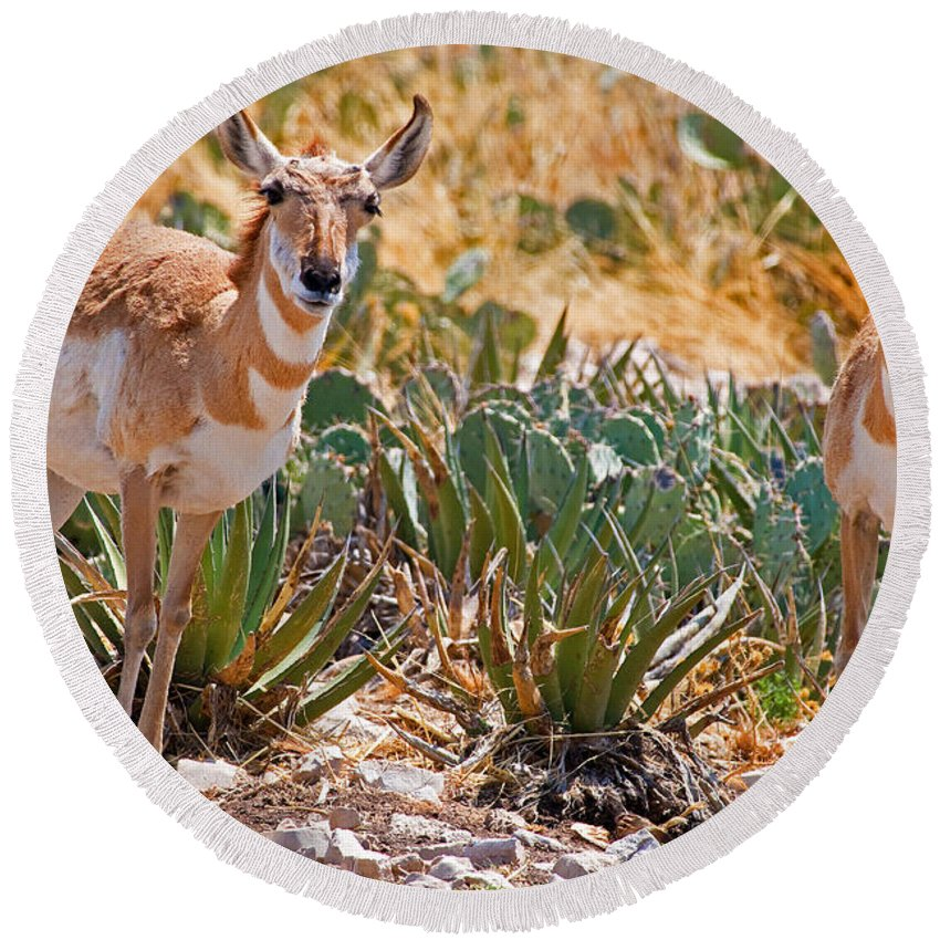Nature Round Beach Towel featuring the photograph Pronghorn Antelope by Millard H. Sharp