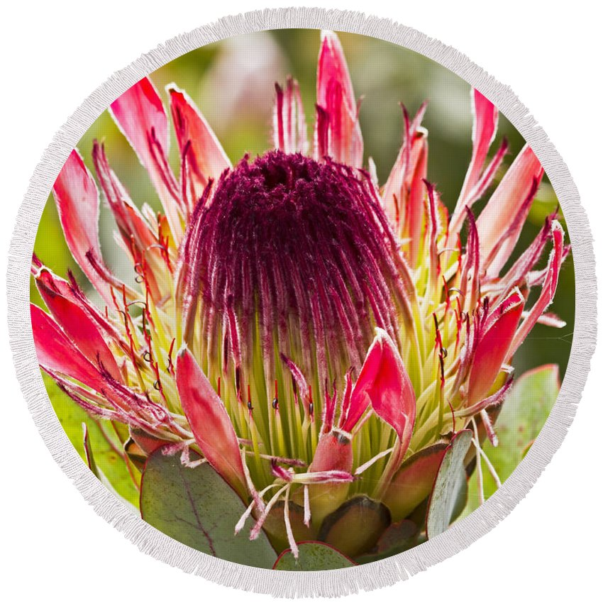 Kate Brown Round Beach Towel featuring the photograph Protea Sugarbush by Kate Brown