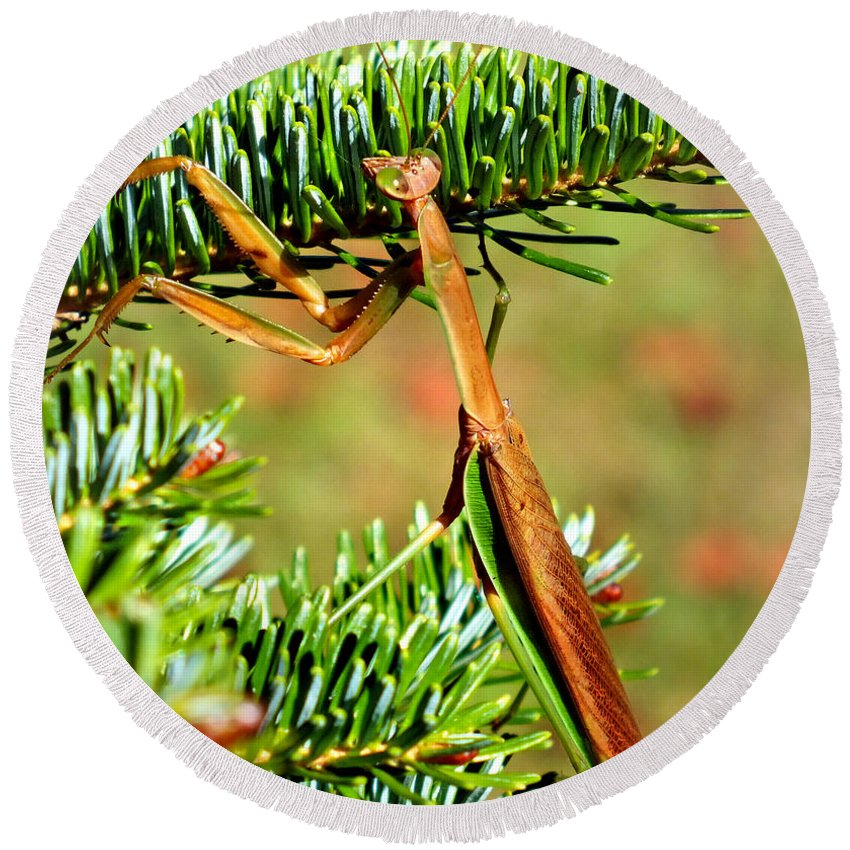 Duane Mccullough Round Beach Towel featuring the photograph Prying Mantis On The Pine Tree by Duane McCullough