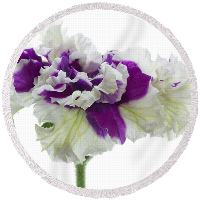 Petunia Round Beach Towel featuring the photograph Purple And White Frilly Petunia by Ann Garrett