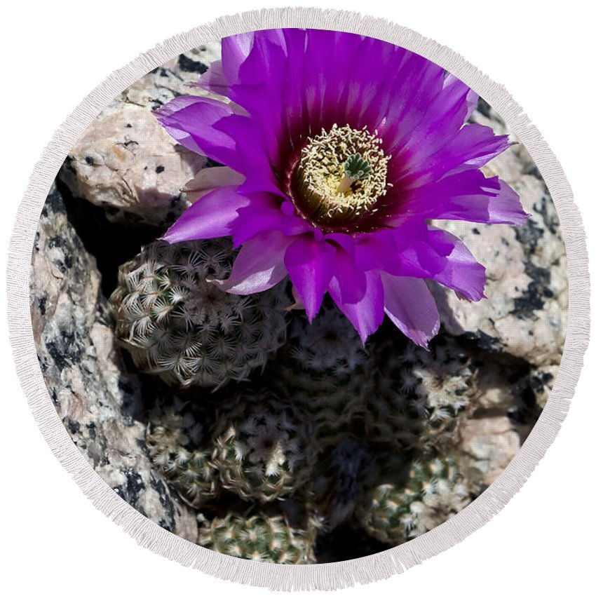 Red Cactus At Horseshoe Round Beach Towel featuring the photograph Purple Cactus Flower by Greg Reed