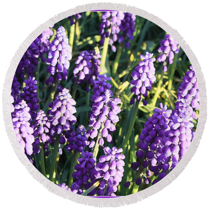 Grape Hyacinth Round Beach Towel featuring the photograph Purple Grape Hyacinth by Carol Groenen