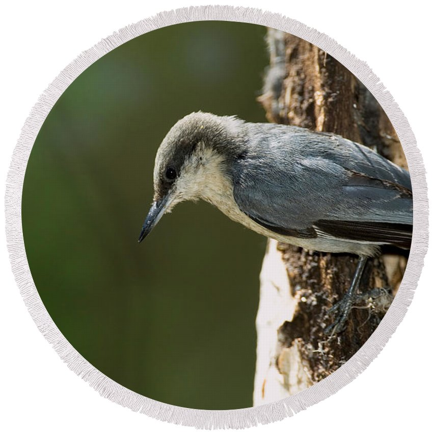 Fauna Round Beach Towel featuring the photograph Pygmy Nuthatch by Anthony Mercieca