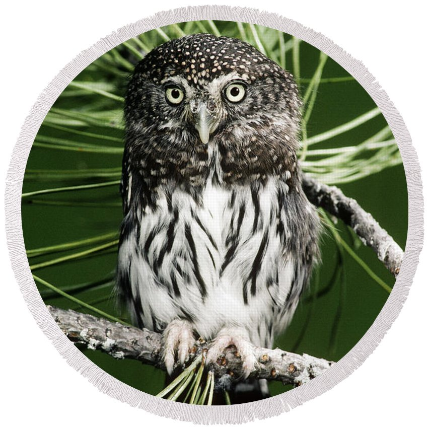 Pygmy Round Beach Towel featuring the photograph Pygmy Owl by Anthony Mercieca