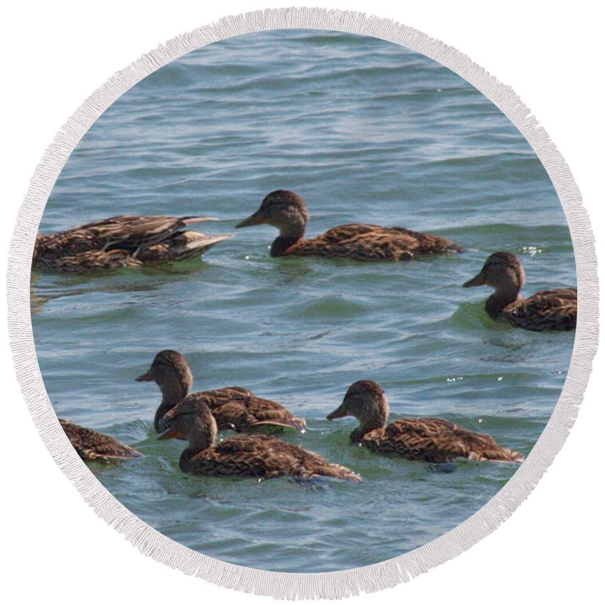 Ducks Round Beach Towel featuring the photograph Quackers by William Norton