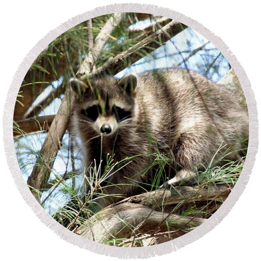 Raccoon Round Beach Towel featuring the photograph Raccoon In A Tree by Larry Allan
