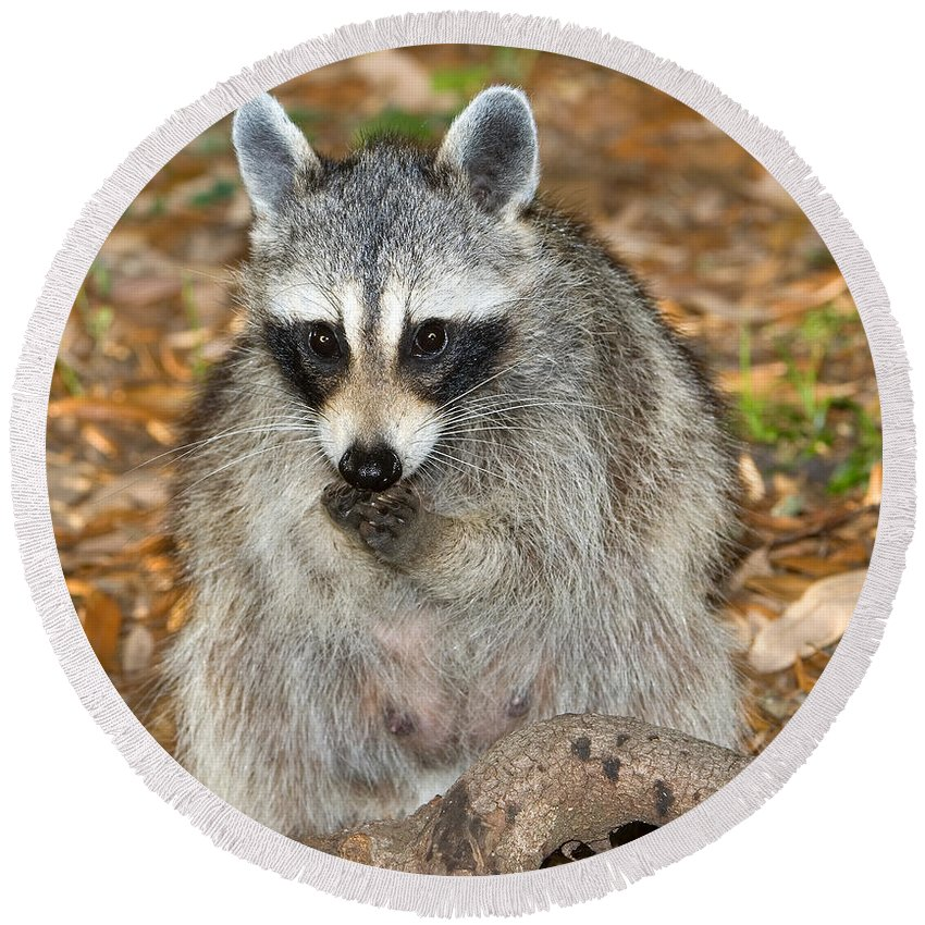 Fauna Round Beach Towel featuring the photograph Raccoon Procyon Lotor Adult Foraging by Millard H. Sharp