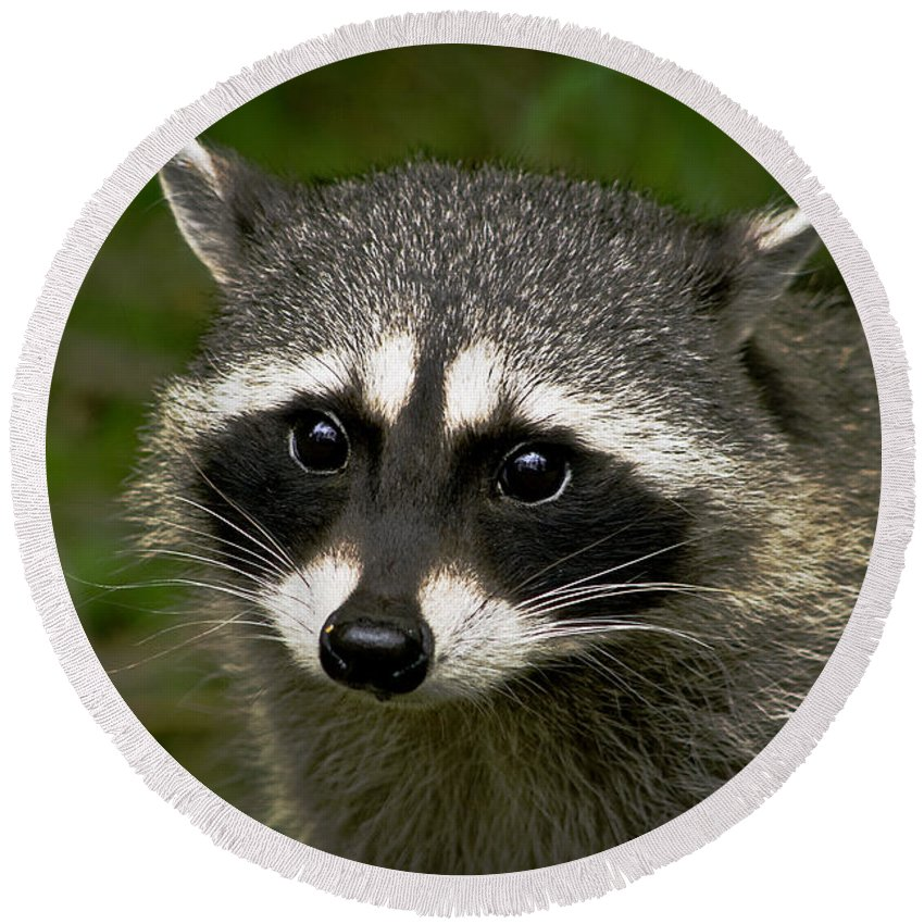 Animals Round Beach Towel featuring the photograph Raccoon by Robert Bales