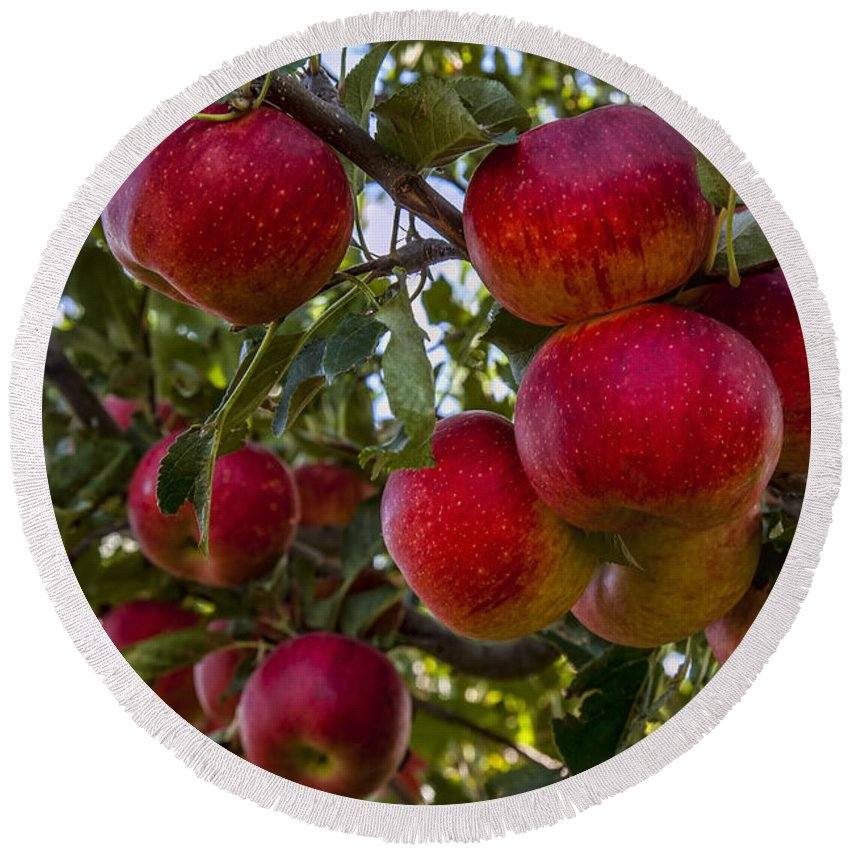 Apples Round Beach Towel featuring the photograph Ready For Picking by Diana Powell