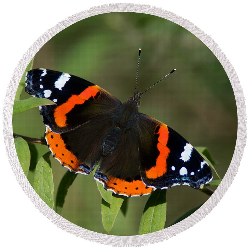 Red Admiral Butterfly Round Beach Towel featuring the photograph Red Admiral Butterfly by Torbjorn Swenelius