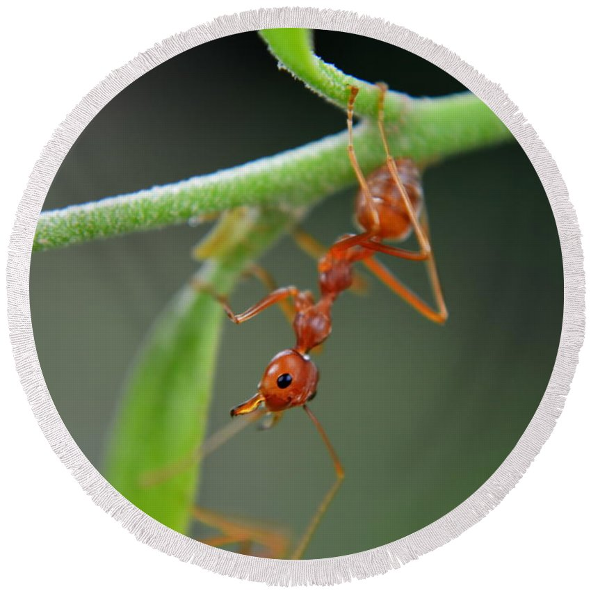 Michelle Meenawong Round Beach Towel featuring the photograph Red Ant by Michelle Meenawong