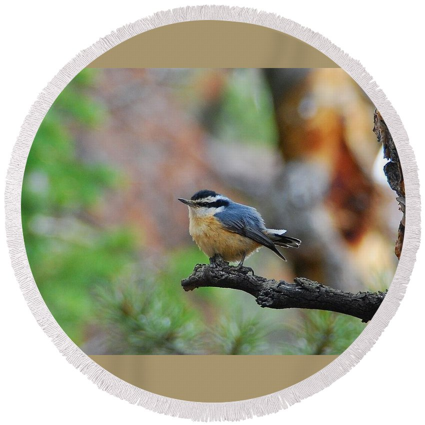 Red-breasted Nuthatch Round Beach Towel featuring the photograph Red-breasted Nuthatch by Cascade Colors