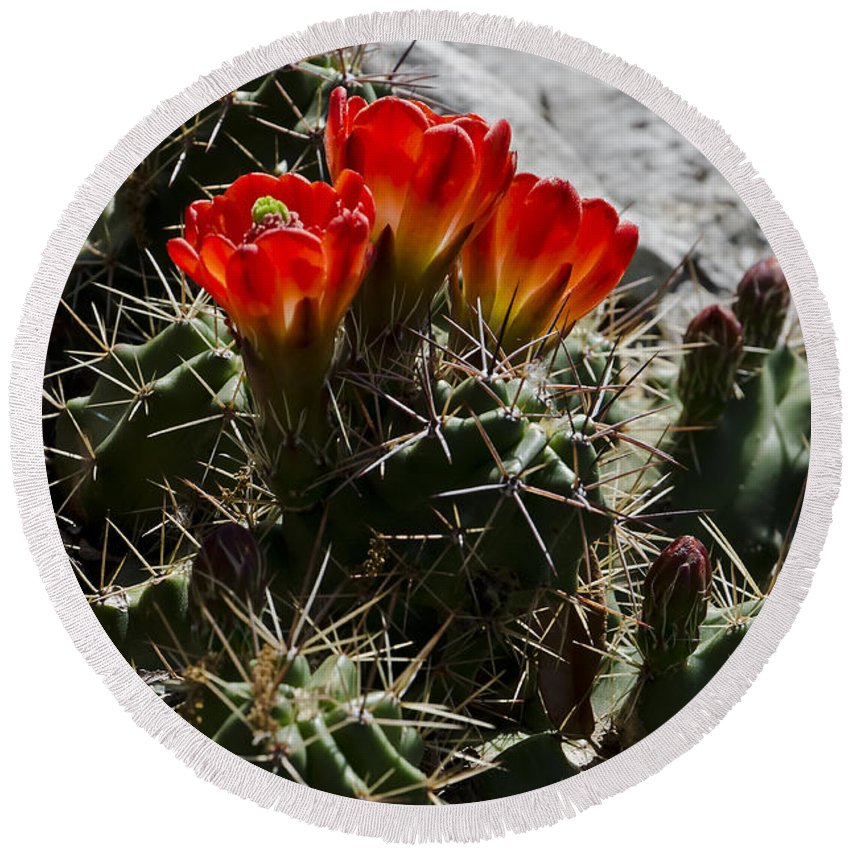 Red Cactus At Horseshoe Round Beach Towel featuring the photograph Red Cactus Flower by Greg Reed