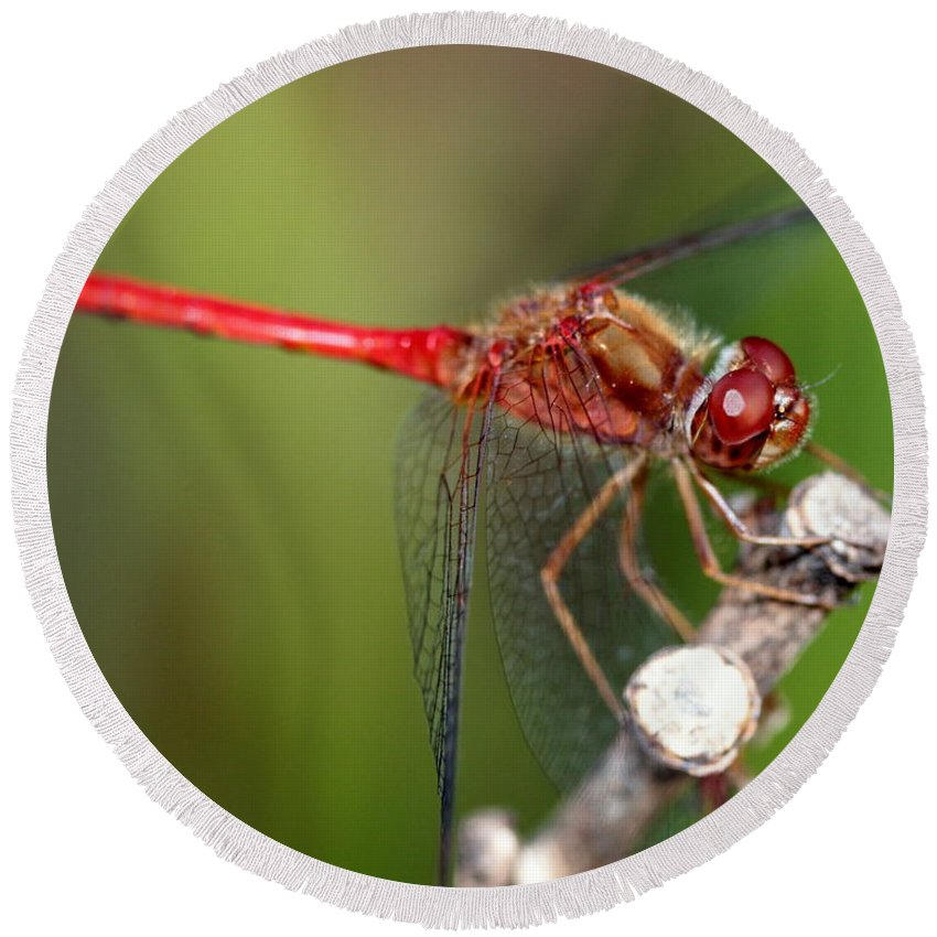 Dragonfly Round Beach Towel featuring the photograph Red Dragon by Kenny Glotfelty