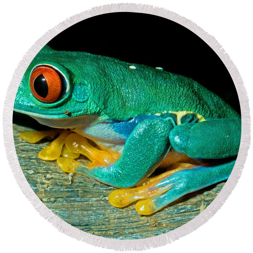 Mexico Round Beach Towel featuring the photograph Red Eye Tree Frog by Millard Sharp