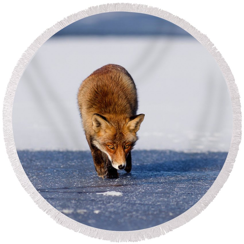 Adult Round Beach Towel featuring the photograph Red Fox Crossing A Frozen Lake by Roeselien Raimond