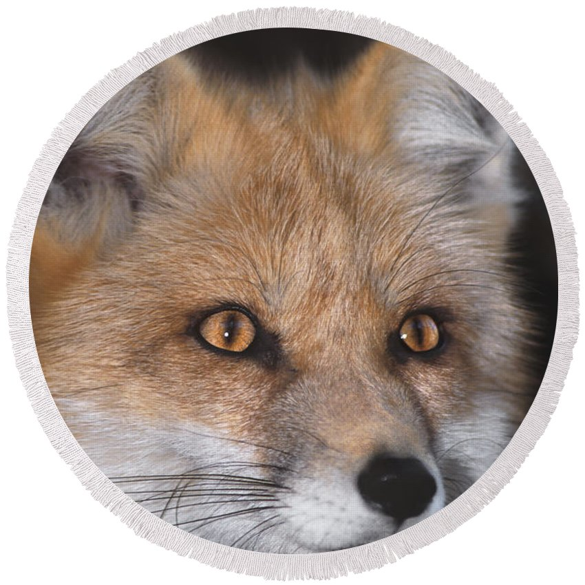 Red Fox Round Beach Towel featuring the photograph Red Fox Portrait Wildlife Rescue by Dave Welling