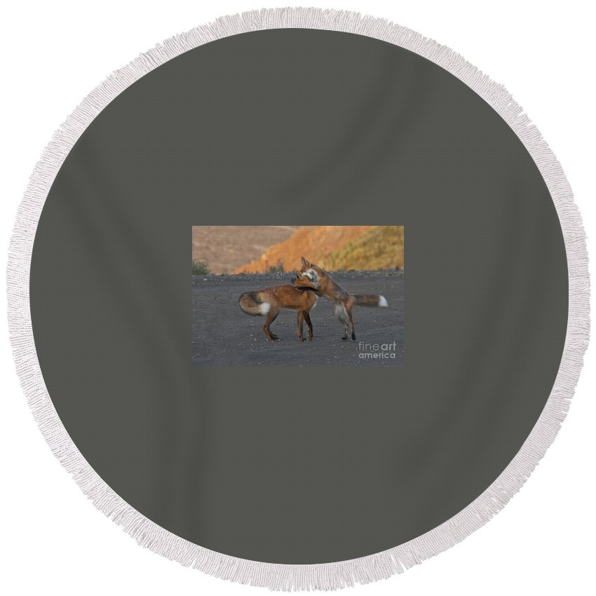 Fauna Round Beach Towel featuring the photograph Red Foxes by Ron & Nancy Sanford