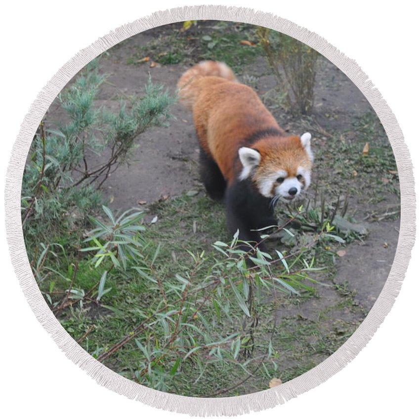 Red Panda Round Beach Towel featuring the photograph Red Panda 2 by Jim Hogg