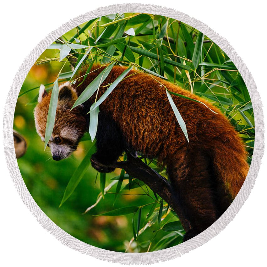 Photography Round Beach Towel featuring the photograph Red Panda by Pati Photography