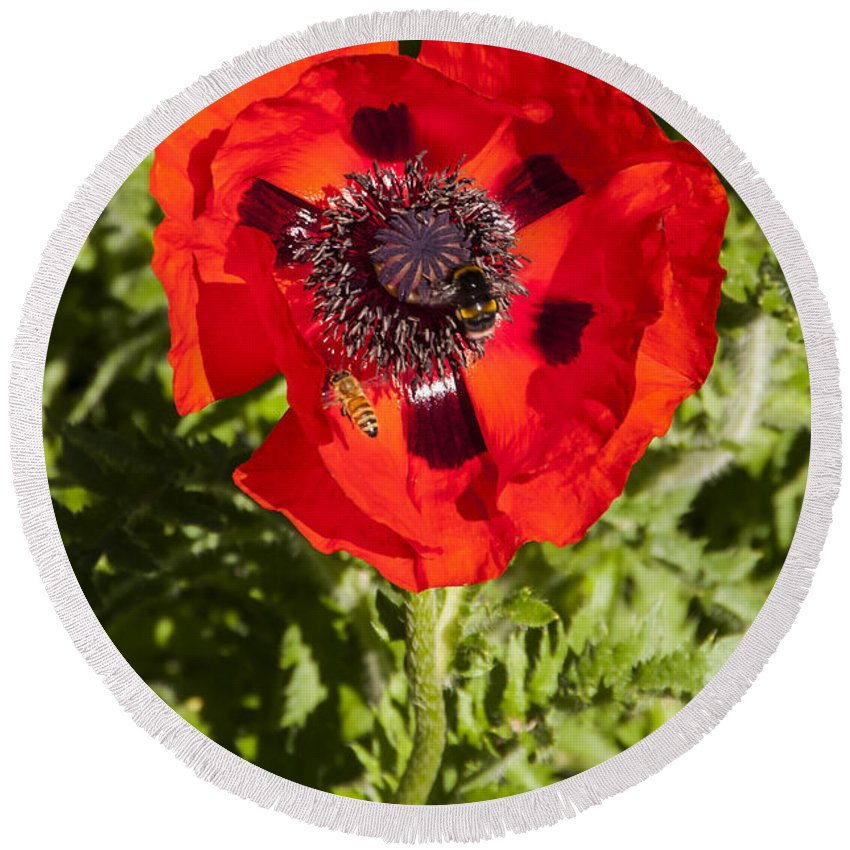 Botanical Gardens Christchurch New Zealand Red Poppy Poppies Bee Bees Flower Flowers Bloom Blooms Round Beach Towel featuring the photograph Red Poppy And Bee by Bob Phillips