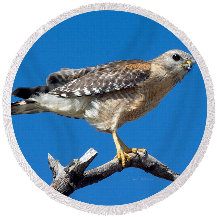 Animal Round Beach Towel featuring the photograph Red-shoulder Hawk by Anthony Mercieca