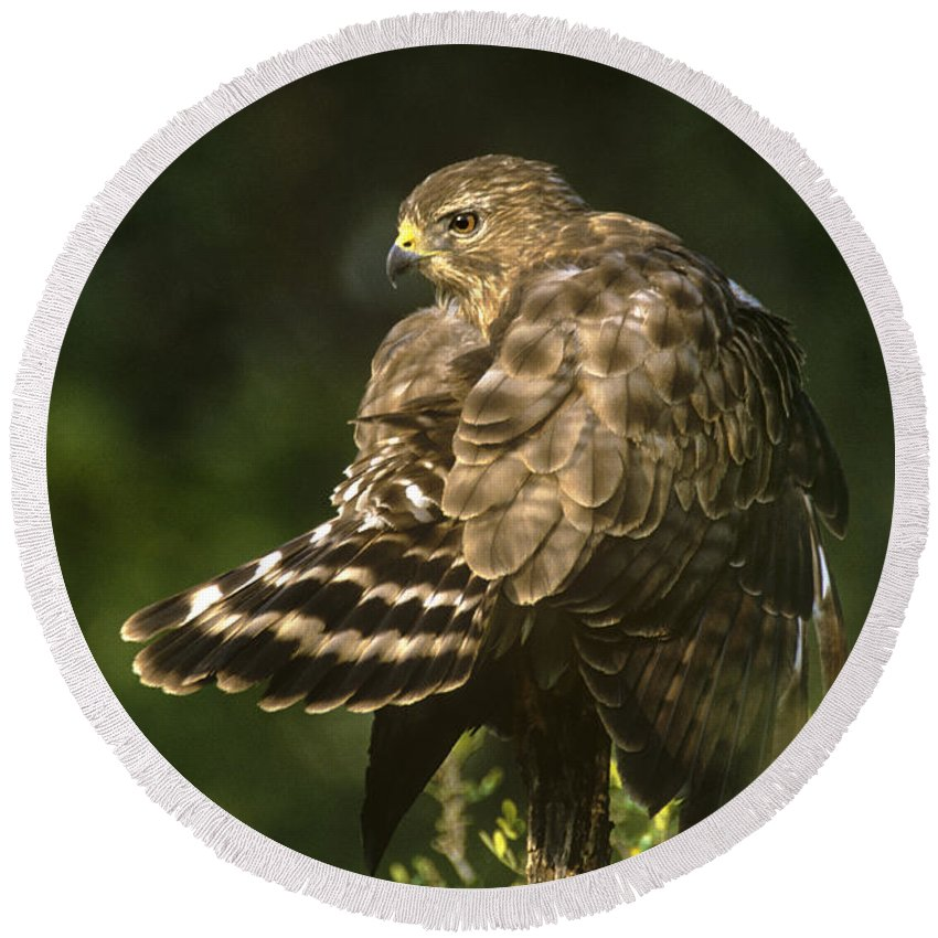 Red-shouldered Hawk Round Beach Towel featuring the photograph Red-shouldered Hawk Wild Texas by Dave Welling
