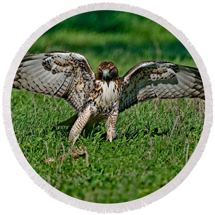 Animal Round Beach Towel featuring the photograph Red-tailed Hawk & Gopher Snake by Anthony Mercieca