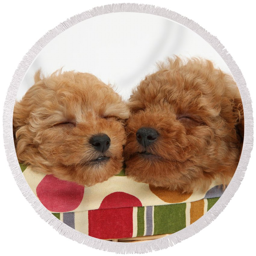 Nature Round Beach Towel featuring the photograph Red Toy Poodle Puppies by Mark Taylor