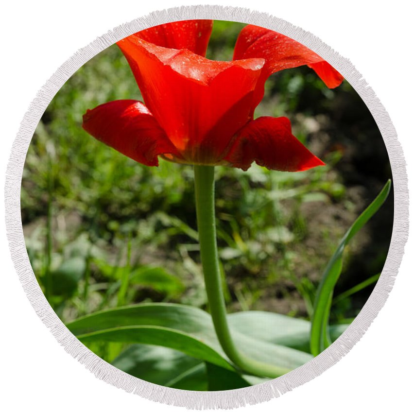 Beautiful Round Beach Towel featuring the photograph Red Tulip On The Green Background by Michael Goyberg