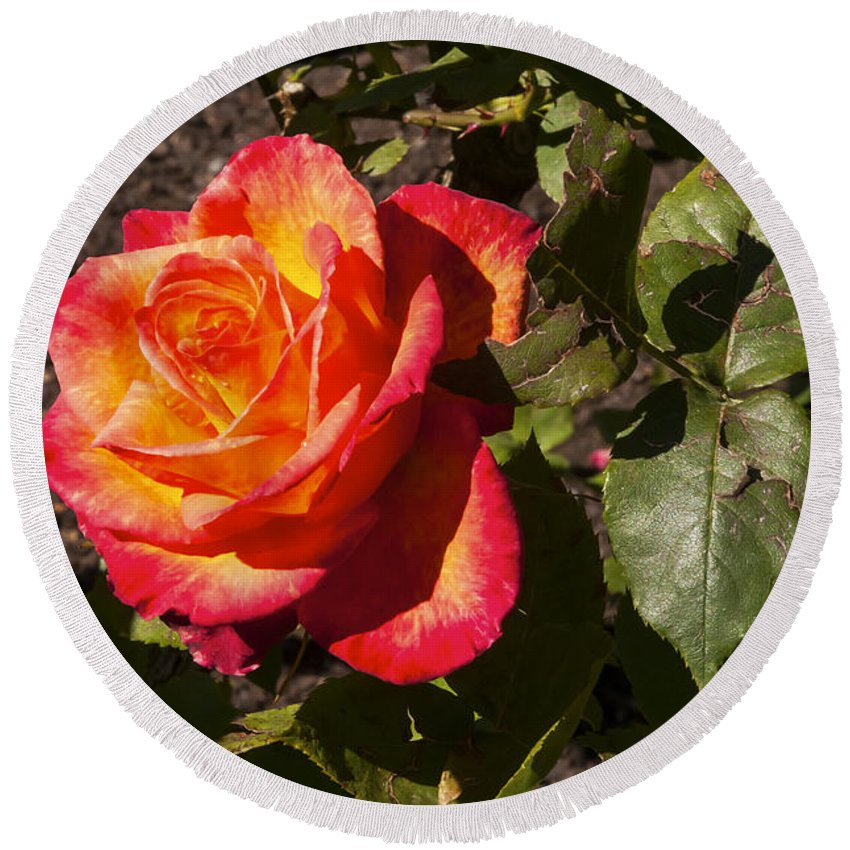 Botanical Gardens Christchurch New Zealand Red And Yellow Rose Roses Flower Flowers Bloom Blooms Leaf Leaves Round Beach Towel featuring the photograph Red With A Little Yellow by Bob Phillips