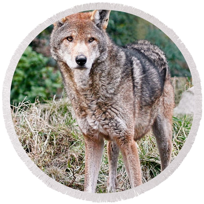 Wolves Round Beach Towel featuring the photograph Red Wolf Alert by Athena Mckinzie