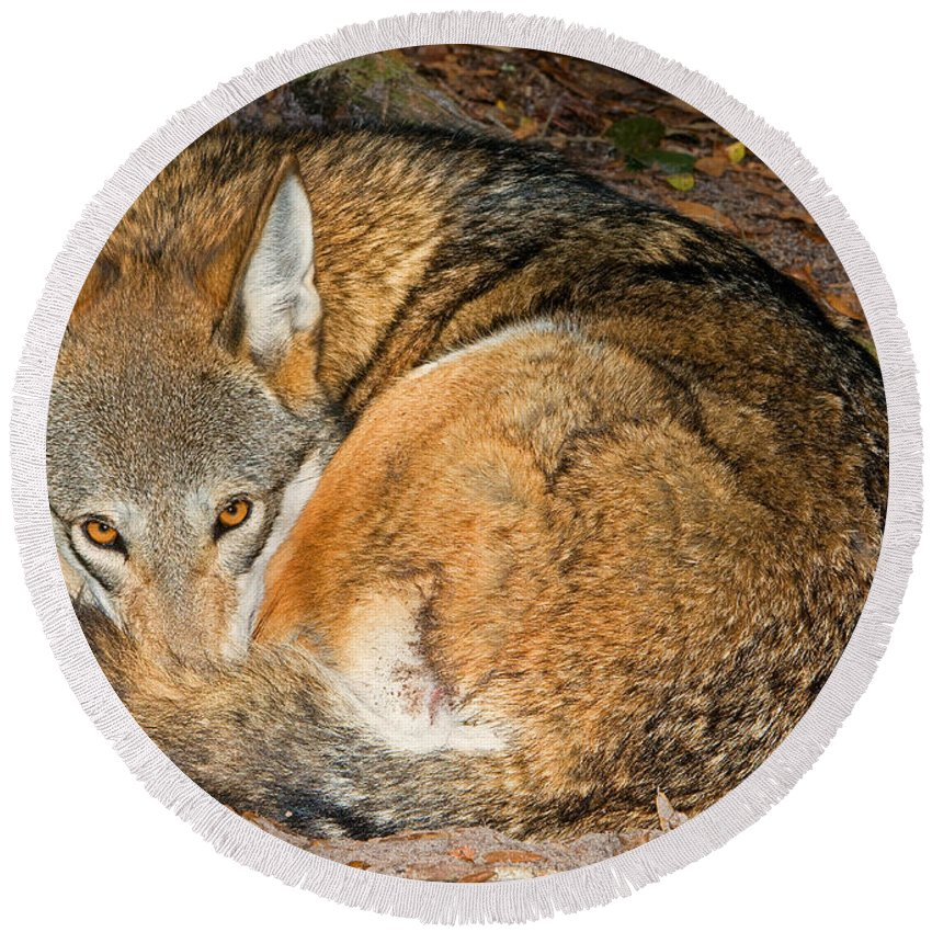Red Wolf Round Beach Towel featuring the photograph Red Wolf by Millard Sharp