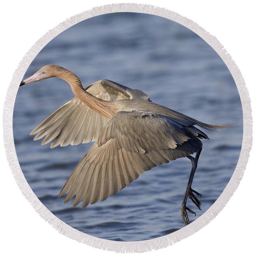 Animal Round Beach Towel featuring the photograph Reddish Egret Dance Fishing by Anthony Mercieca