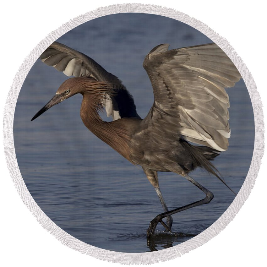 Reddish Egret Round Beach Towel featuring the photograph Reddish Egret Fishing by Meg Rousher