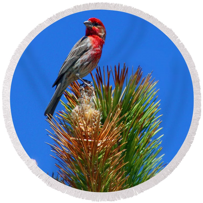 Colorado Round Beach Towel featuring the photograph Redheaded Tree Topper by Bob Hislop