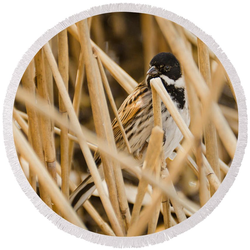 Animal Round Beach Towel featuring the photograph Reed Bunting by David Head