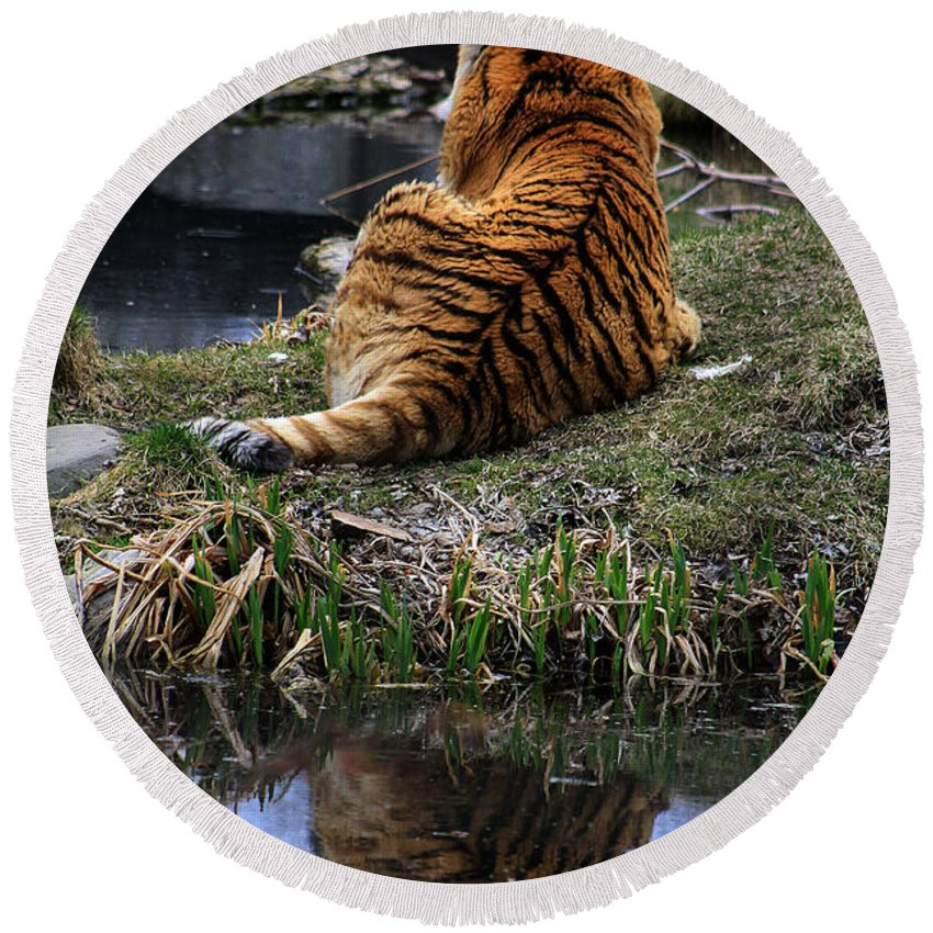 Tiger Round Beach Towel featuring the photograph Reflecting Stripes by Alyce Taylor