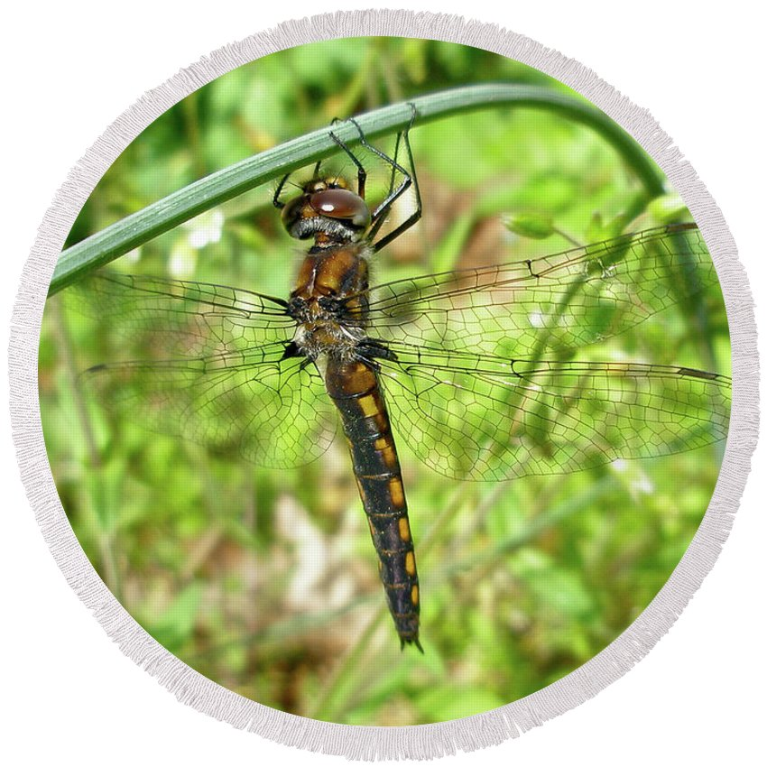 Dragonfly Round Beach Towel featuring the photograph Resting Brown Dragonfly by Mother Nature