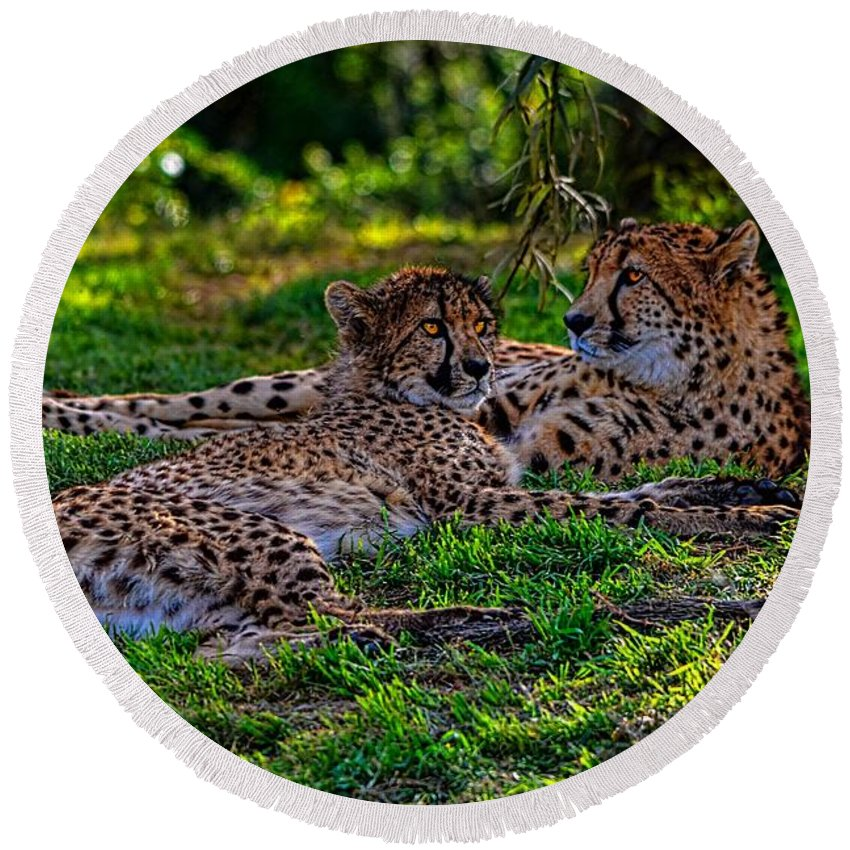California Round Beach Towel featuring the photograph Resting Cheetahs by Tommy Anderson