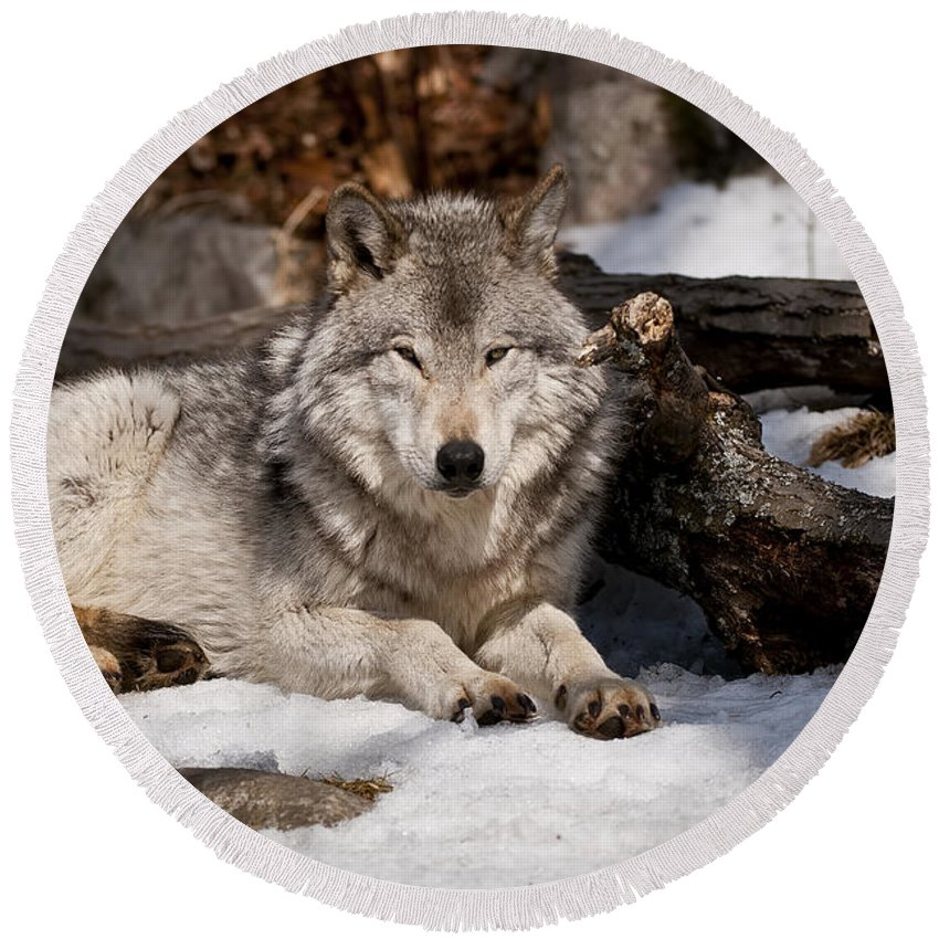 Timber Wolf Photography Round Beach Towel featuring the photograph Resting Timber Wolf by Wolves Only