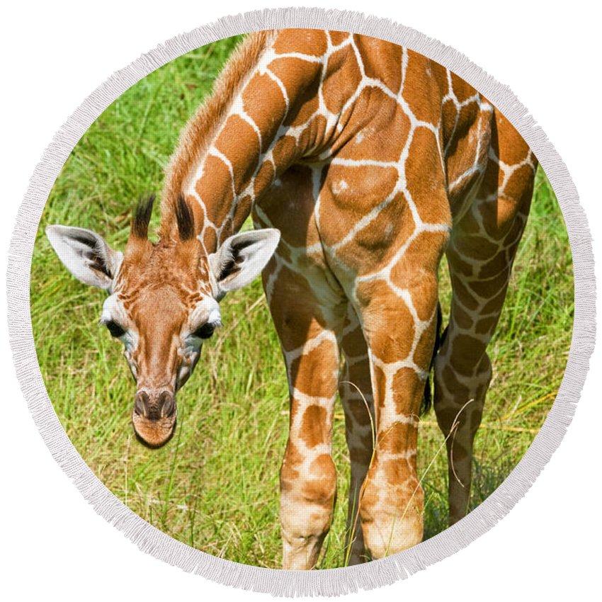 Nature Round Beach Towel featuring the photograph Reticulated Giraffe 6 Week Old Calf by Millard H. Sharp